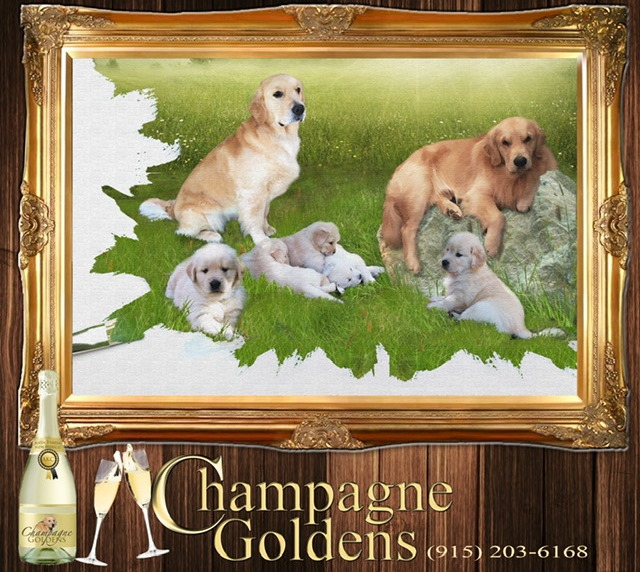 Champagne Goldens